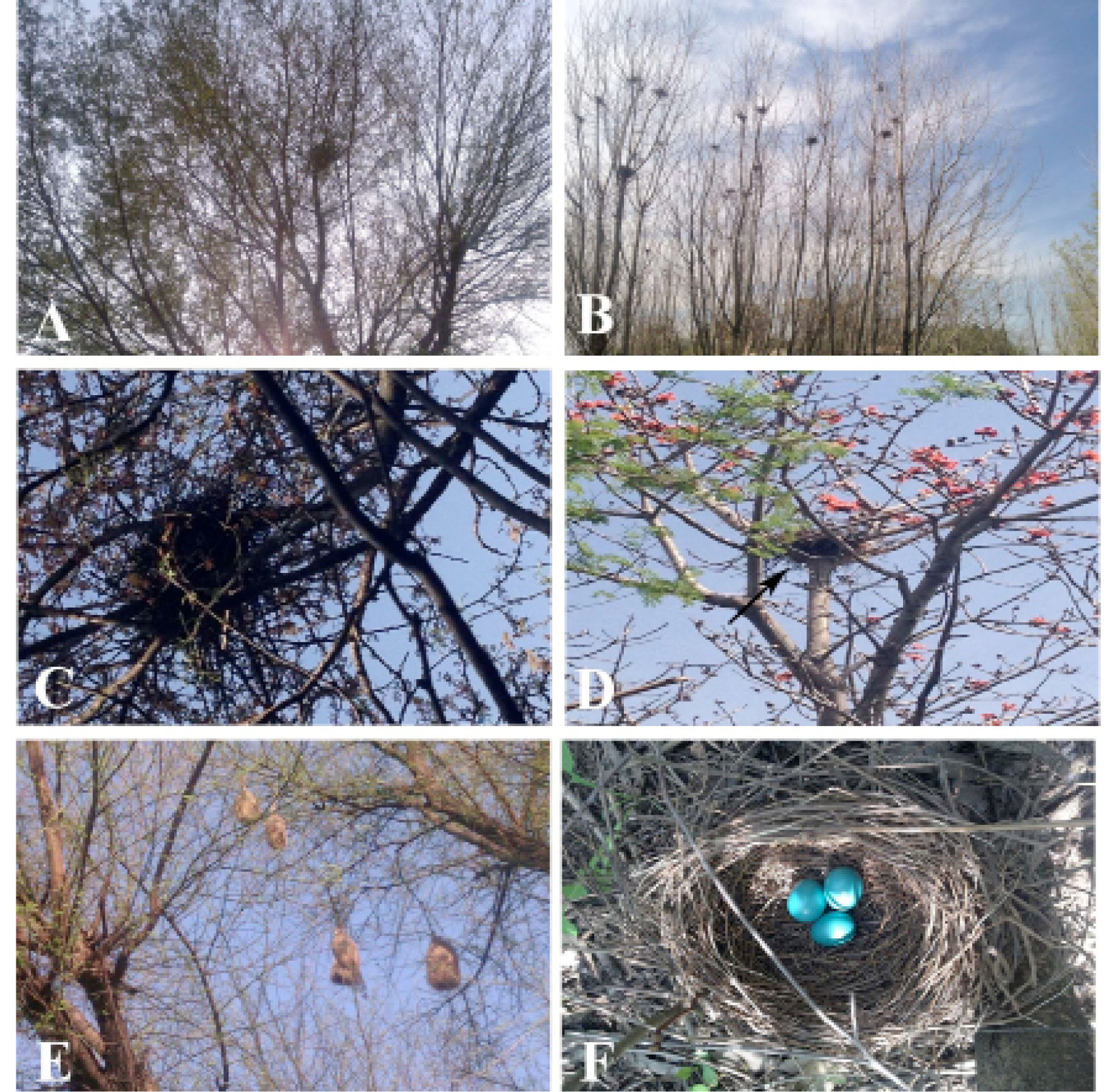 Nesting Use Of Tree Species By Avifauna Inhabiting Pabbi Range