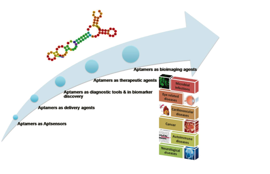 Aptamers are synthetic oligonucleotides, such as ribonucleic acid (RNA) and single-strand deoxyribonucleic acid (ssDNA) that can bind to their targets with high affinity and specificity due to specific secondary and tertiary structures.